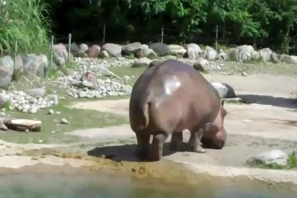Hippo farts and violently poos everywhere at once