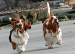 Whoever these basset hounds belong to