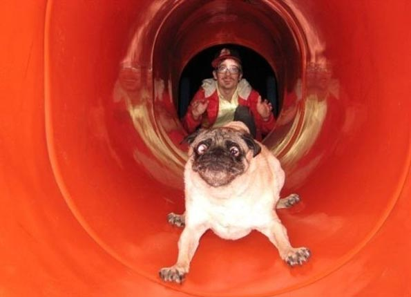 Whoever pushed this pug down this slide