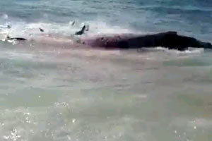 Whale eaten by sharks