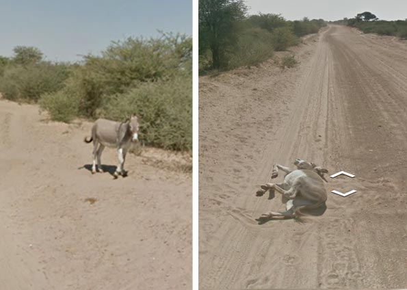 Google Street View car runs over donkey?