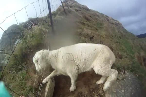 Sheep rescue nearly goes horribly wrong