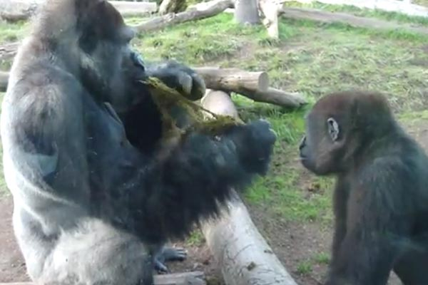 Gorilla eats its own shit