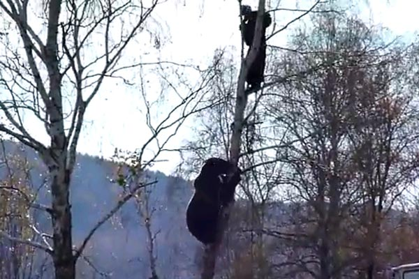 Man stuck up a tree with a bear