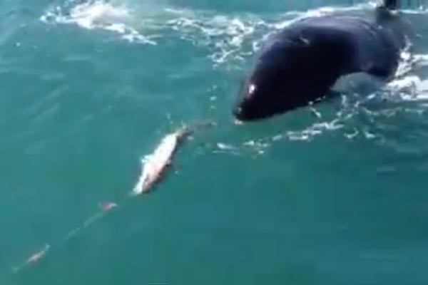Killer whale steals fish