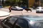 Man tackles escaped bull